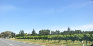 Organic Gisborne Pinot Gris 2017