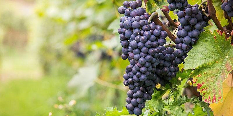 Pinot Noir